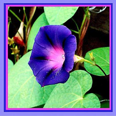 Цветок крученый паныч